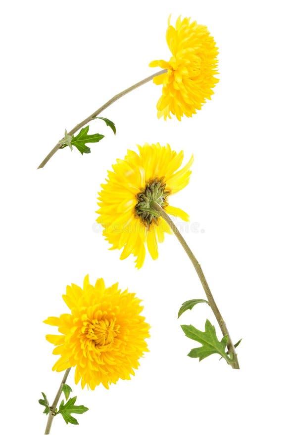 Grupo de três crisântemos amarelos brilhantes isolados no bach branco fotografia de stock