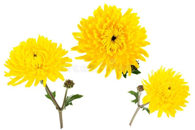 Grupo de três crisântemos amarelos brilhantes isolados no bach branco fotos de stock