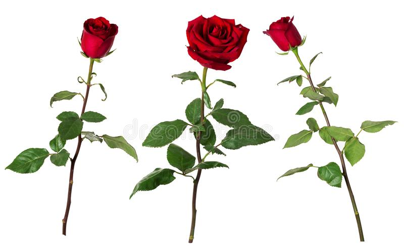 Grupo de três rosas vermelhas vívidas bonitas em hastes longas com as folhas do verde isoladas no fundo branco imagem de stock