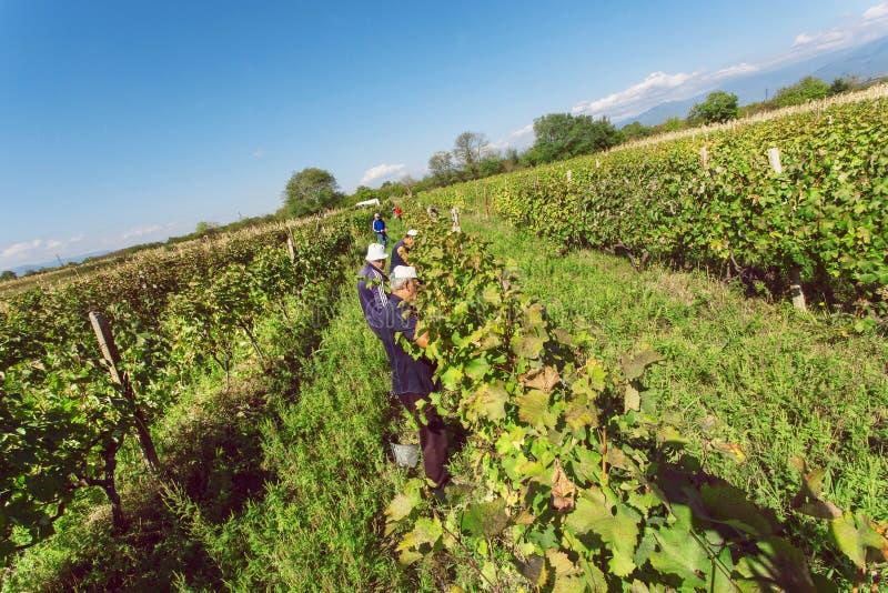 Grupo de trabajadores que toman la cosecha de la uva en el pueblo georgiano con la cultura del vino y de los viñedos fotos de archivo