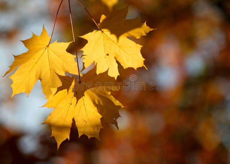 Grupo de tres hojas de otoño imagen de archivo