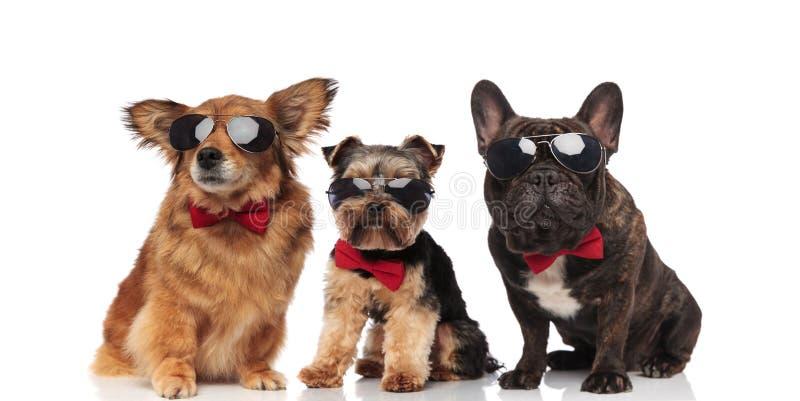 Grupo de tres perros frescos con los bowties rojos fotos de archivo libres de regalías