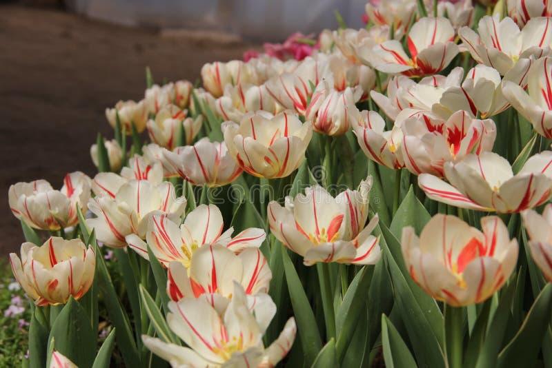 Grupo de tulipán hermoso del blanco del ramo imagenes de archivo
