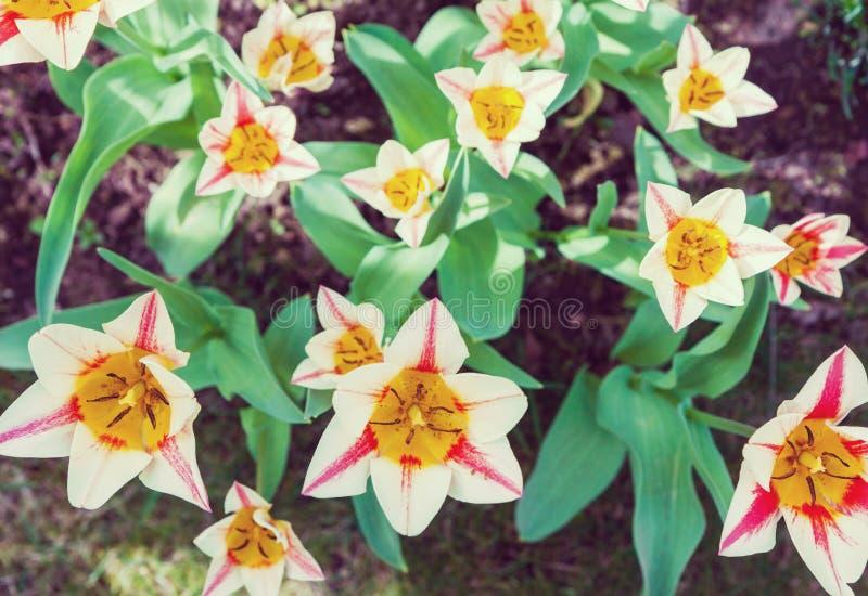 Grupo de tulipanes del jardín fotografía de archivo libre de regalías