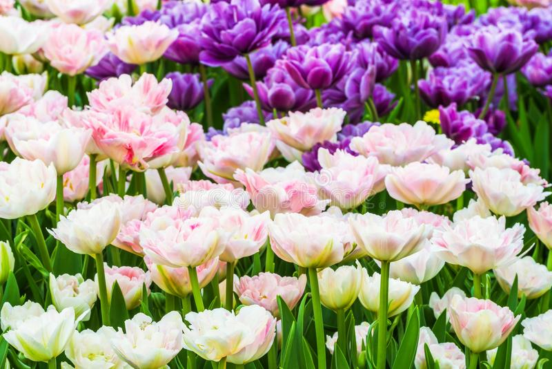 Grupo de tulipas coloridas Uma flor branca, cor-de-rosa e lilás da tulipa é iluminada pela luz solar foto de stock royalty free
