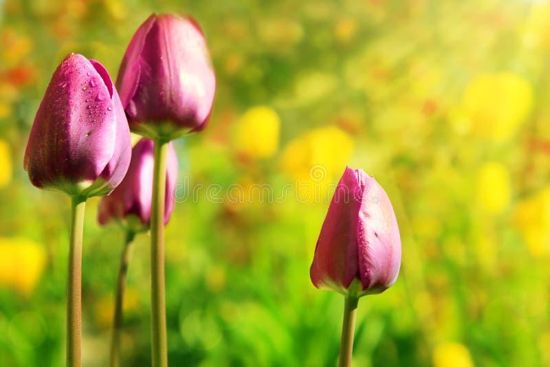 Grupo de tulipas cor-de-rosa que crescem no jardim fotografia de stock