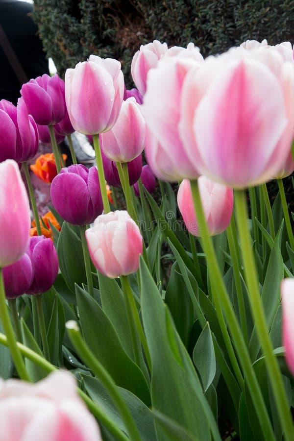Grupo de tulipas cor-de-rosa e brancas da mola em hastes verdes magros imagens de stock royalty free