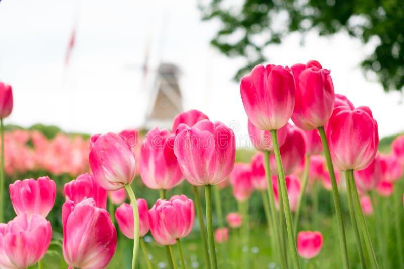 Grupo de tulipas cor-de-rosa vermelhas no parque fotos de stock royalty free