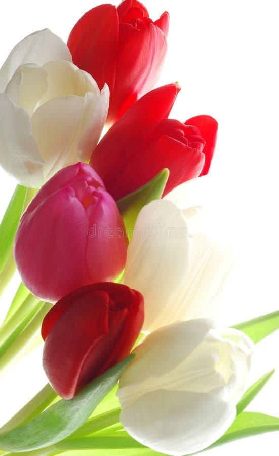 Grupo de tulips coloridos imagem de stock royalty free