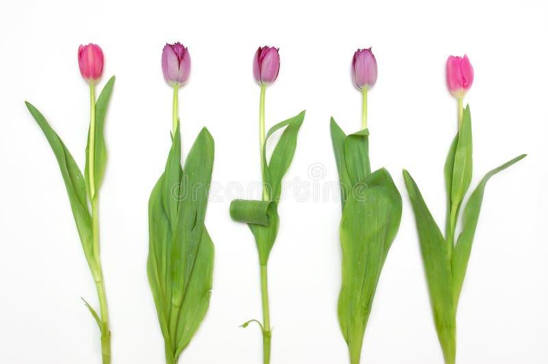 Grupo de tulips florescidos foto de stock royalty free
