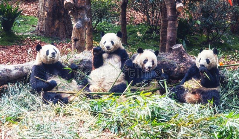 Grupo de urso de panda gigante bonito que come o bambu foto de stock