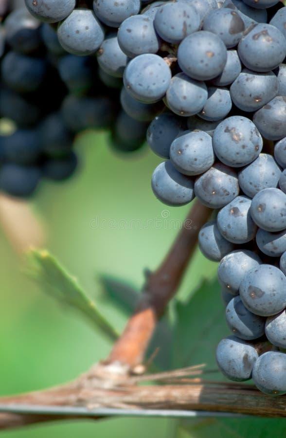 Grupo de uva vermelho imagens de stock