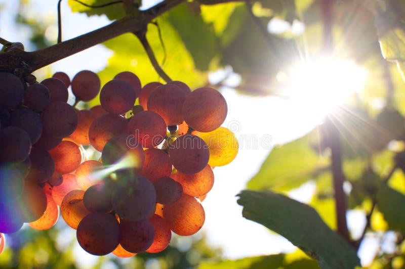 Grupo de uvas pela luz do sol imagens de stock royalty free