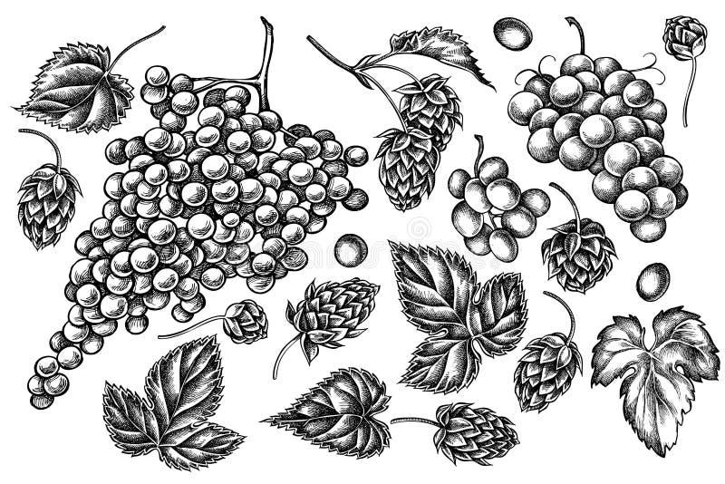 Grupo de uvas preto e branco tiradas mão, lúpulo do vetor ilustração do vetor