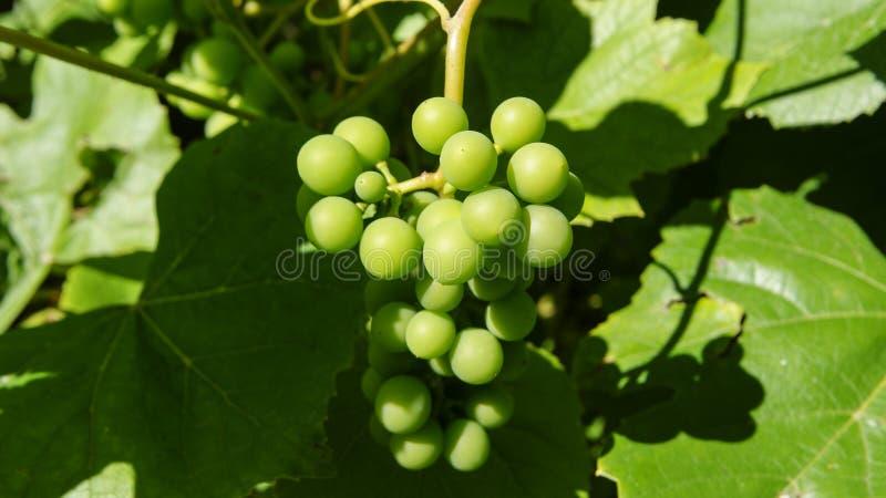 Grupo de uvas verdes em um ramo imagens de stock royalty free