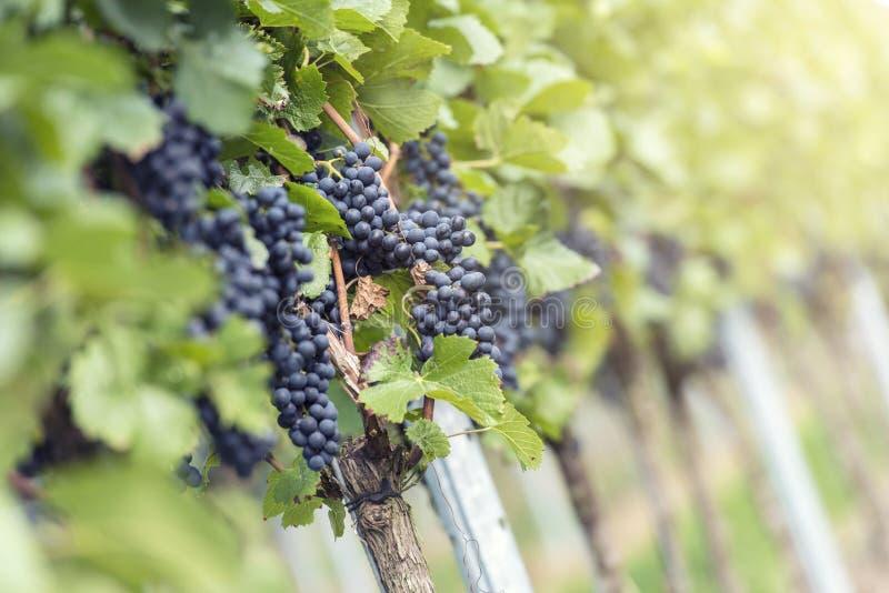 Grupo de uvas vermelho no vinhedo imagem de stock