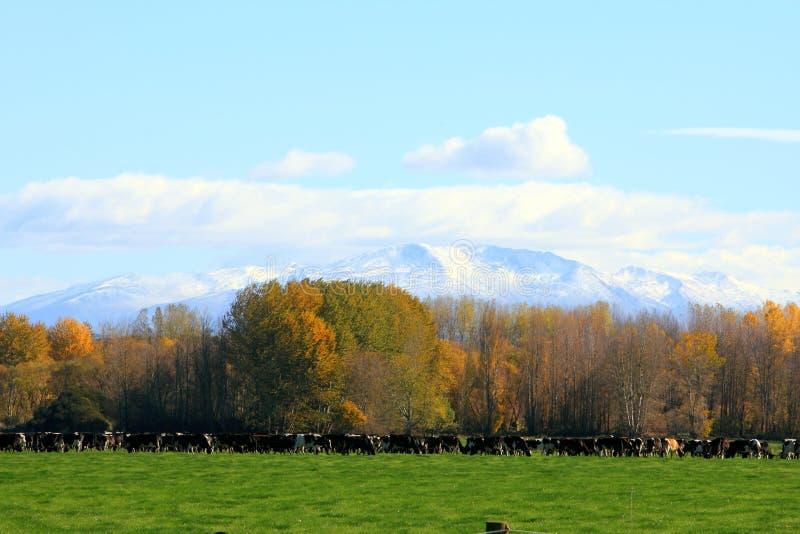 Grupo de vaca na exploração agrícola, ilha sul, Nova Zelândia foto de stock