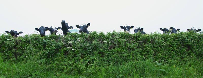 Grupo de vacas fotografia de stock