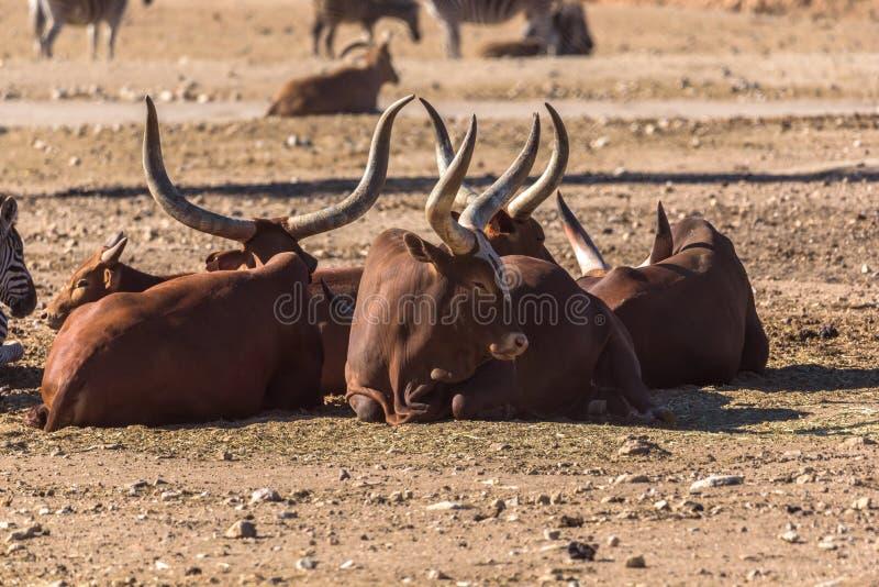 Grupo de vacas africanas Ankole-Watus que miente en la tierra imagen de archivo