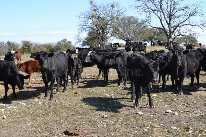 Grupo de vacas de carne fotos de stock