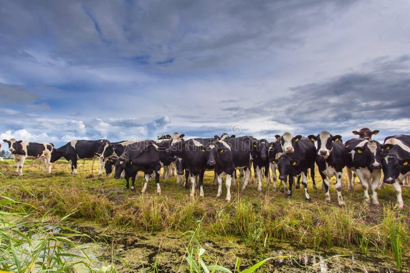 Grupo de vacas em um campo fotografia de stock