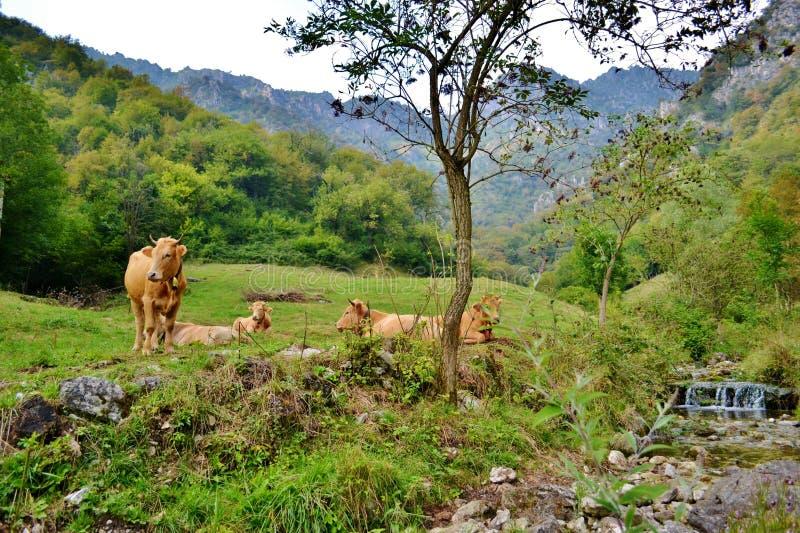 Grupo de vacas marrones del descanso en el pasto de la montaña en un día de verano fotografía de archivo