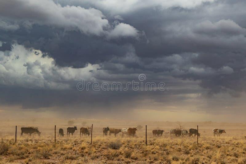 Grupo de vacas que pastan con tempestad de arena Namibia, sossuvlei fotografía de archivo