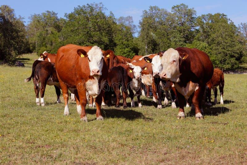 Grupo de vacas fotografia de stock royalty free
