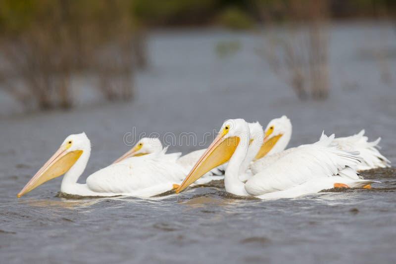 Grupo de vadear os pelicanos brancos foto de stock
