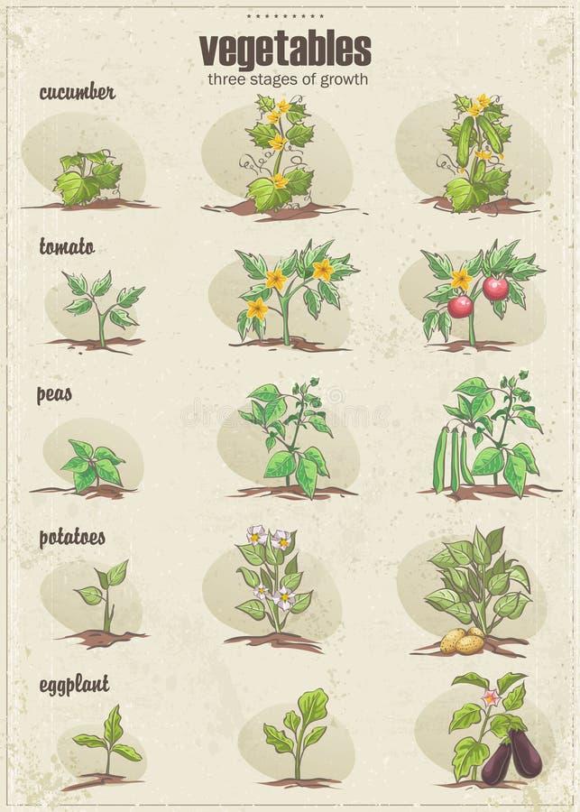 Grupo de vegetais com três fases de seu crescimento Jogo 2 ilustração do vetor