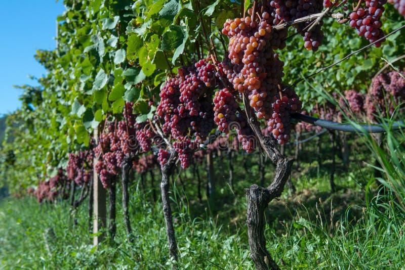 Grupo de vinhas vermelhas para a produção de vinho imagem de stock