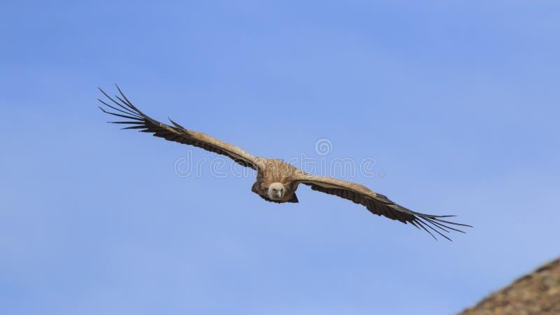 Grupo de voo do fulvus de Griffon Vulture Gyps em SiChuan, China fotografia de stock