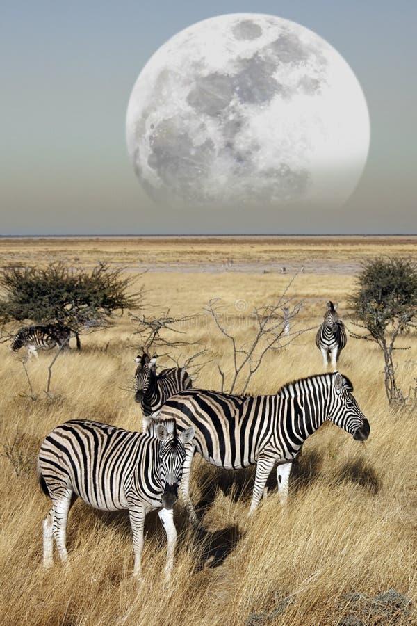 Grupo de zebra (quagga do Equus) fotografia de stock royalty free