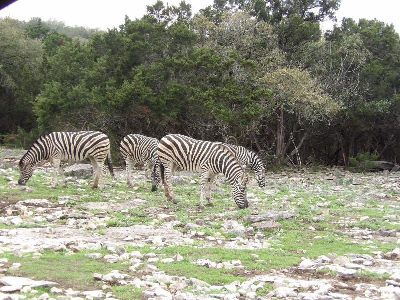 Grupo de zebras fotos de stock royalty free
