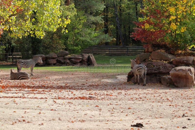 Grupo de zebras em nuremberg no outono imagens de stock