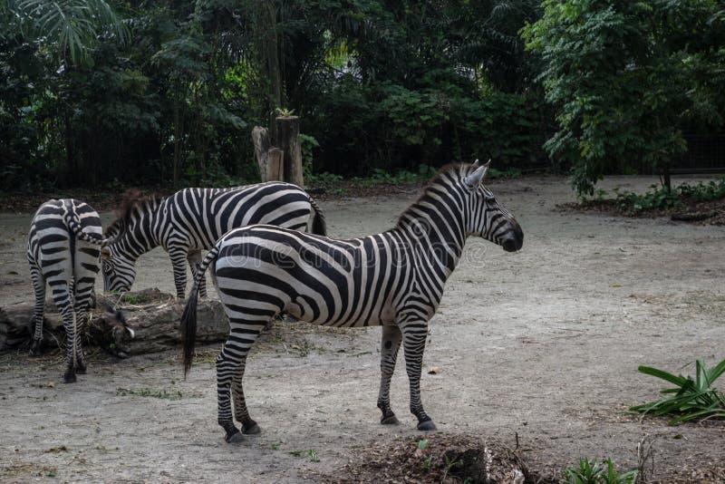 Grupo de zebras listradas bonitas que relaxam em Singapura fotografia de stock royalty free