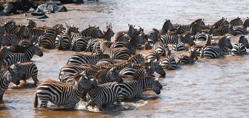 Grupo de zebras na poeira Kenya tanzânia Parque nacional serengeti Maasai Mara foto de stock royalty free