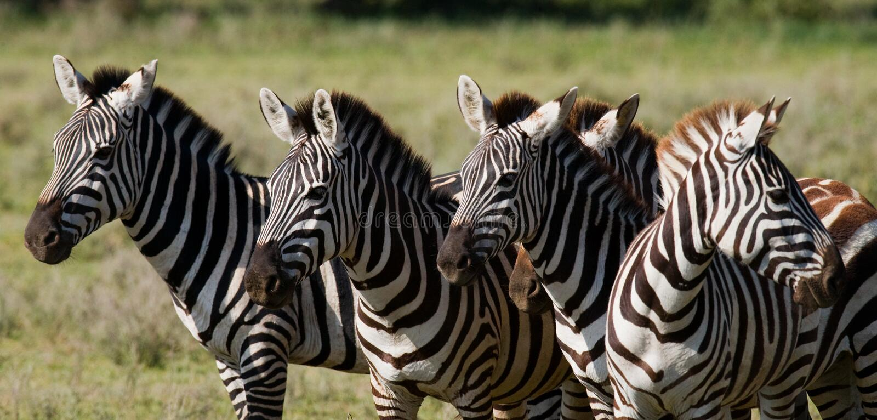 Grupo de zebras no savana kenya tanzânia Parque nacional serengeti Maasai Mara imagem de stock