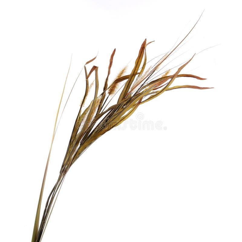 Grupo decorativo secado da grama isolado no branco imagem de stock