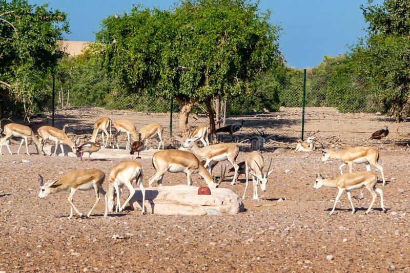 Grupo del antílope en un parque del safari en la isla de Sir Bani Yas, United Arab Emirates imagen de archivo libre de regalías
