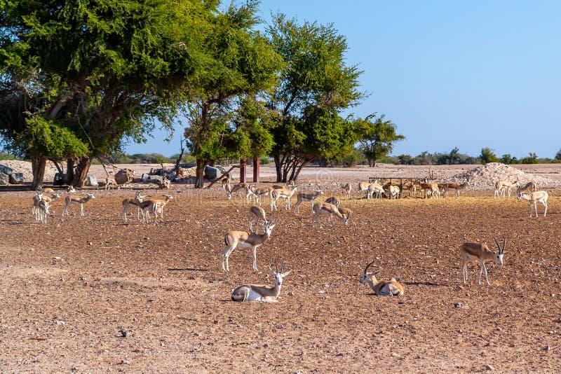 Grupo del antílope en un parque del safari en la isla de Sir Bani Yas, United Arab Emirates imagenes de archivo