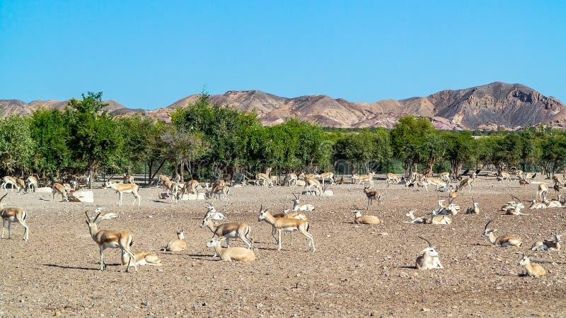 Grupo del antílope en un parque del safari en la isla de Sir Bani Yas, United Arab Emirates foto de archivo