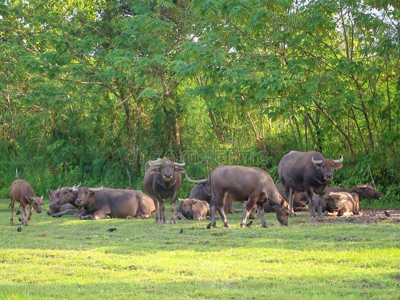 Grupo del búfalo en prado fotografía de archivo libre de regalías