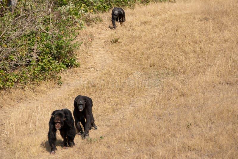Grupo del chimpancé fotos de archivo libres de regalías