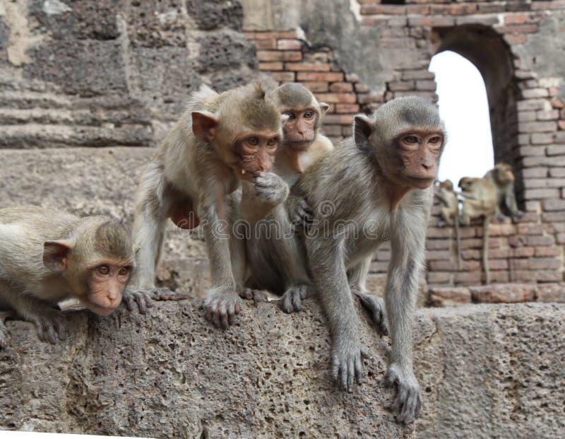 Grupo del mono del templo fotos de archivo