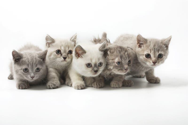 Grupo del retrato de gatos escoceses jovenes Tiro del estudio Aislado fotos de archivo