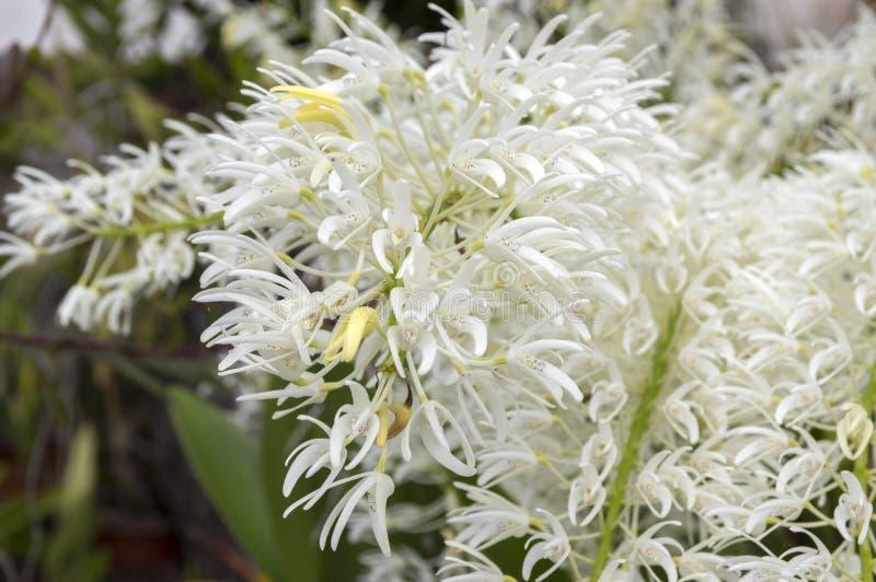 Grupo del speciosum del Dendrobium de pequeñas flores blancas en la floración fotos de archivo