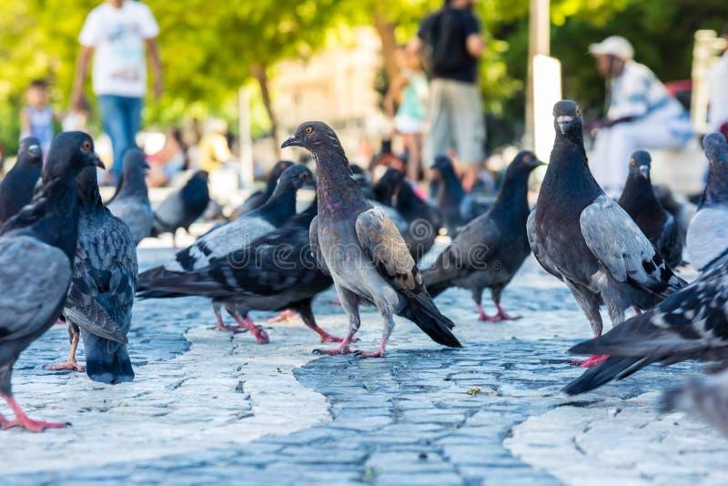 Grupo denso de pombos com único pombo Sunny City Ur imagens de stock royalty free