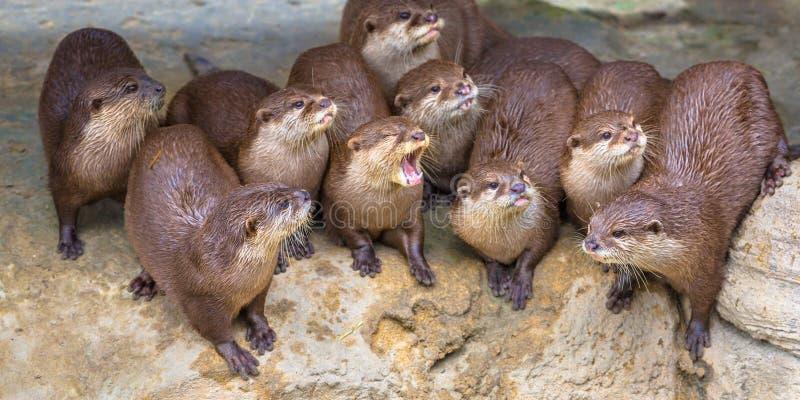 Grupo divertido de lontras pequenas imagem de stock royalty free