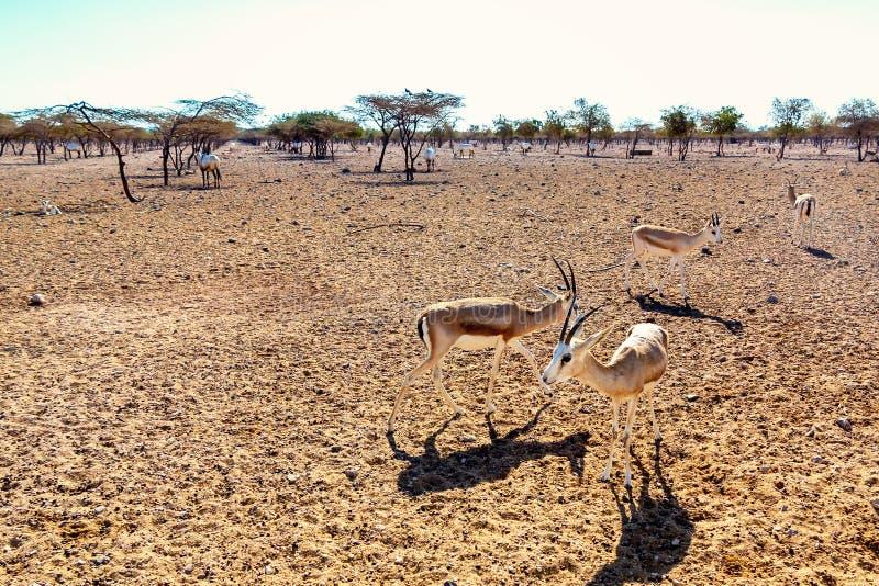 Grupo do antílope em um parque do safari na ilha de Sir Bani Yas, Emiratos Árabes Unidos fotografia de stock